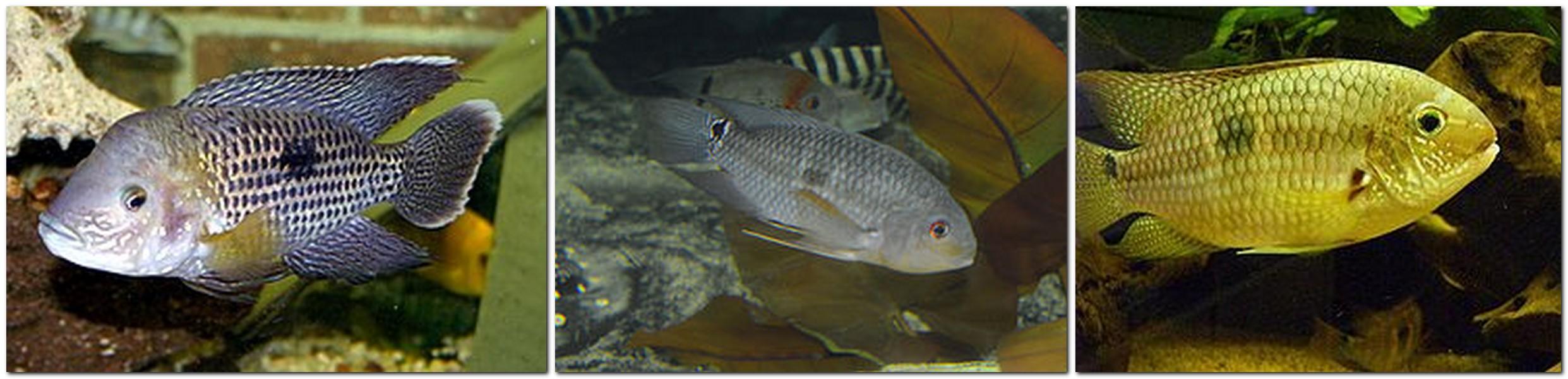 Aequidens Coeruleopunctatus - Aequidens Coeruleopunctatus