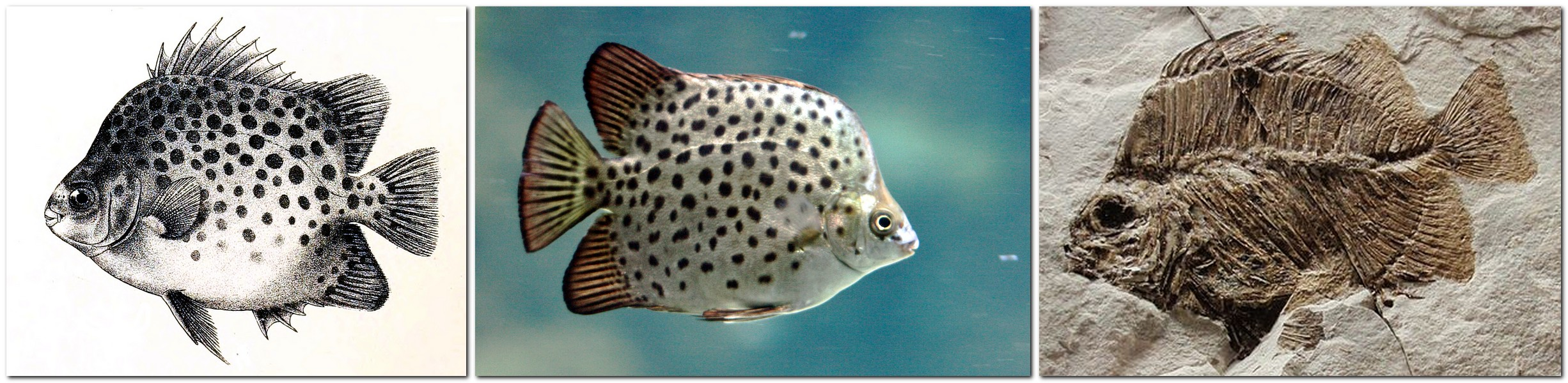 Afrikanischer Argusfisch - Scatophagus tetracanthus