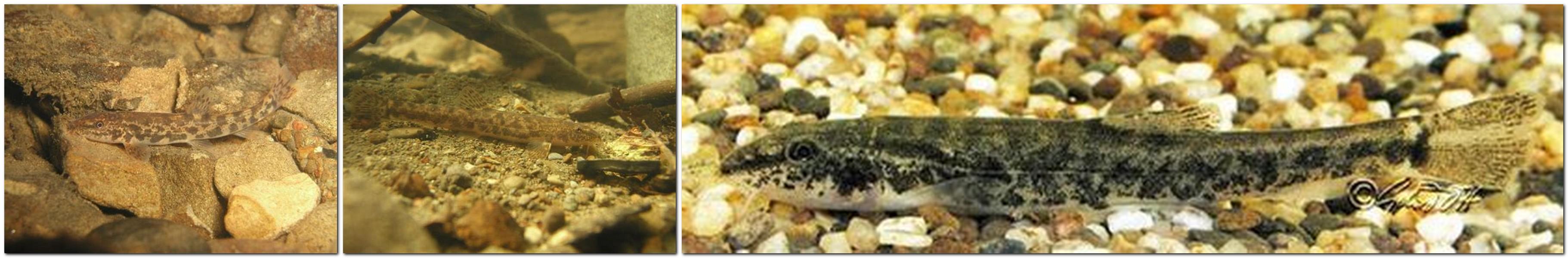 Bachschmerle - Noemacheilus barbatulus