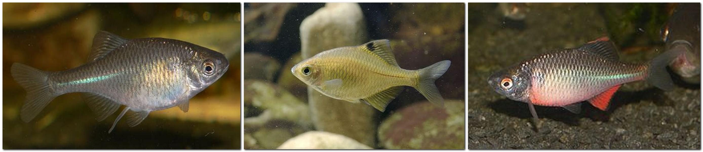 Bitterling - Rhodeus amarus