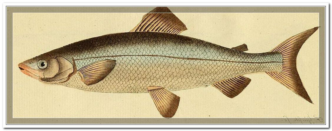Coregonus Lavaretus - Fische Reinanke